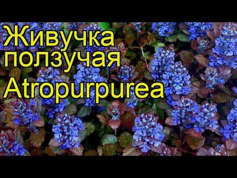 Живучка ползучая Atropurpurea. Краткий обзор, описание характеристик, где купить саженцы