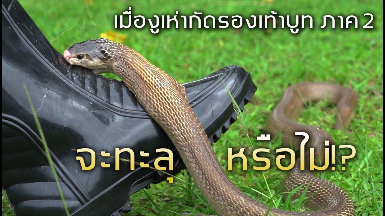 ทะลุหรือไม่!!! เมื่องูเห่ากัดรองเท้าบูท ภาค2