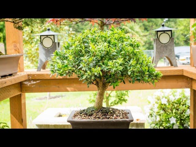 The Boxwood Bonsai