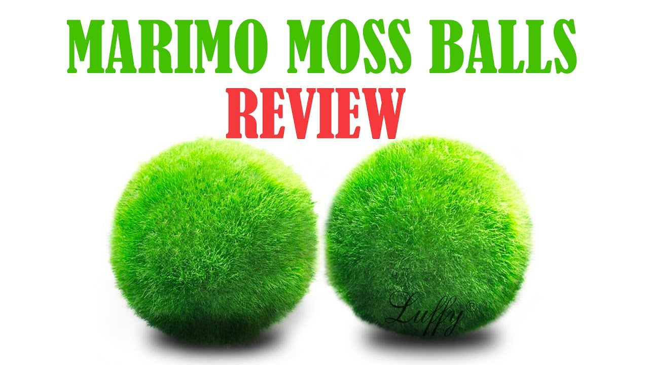 how to clean moss ball