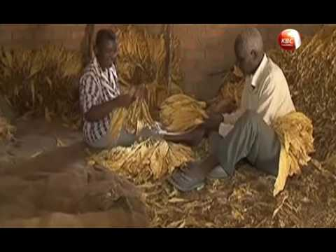 Tobacco processing companies accused of coercing farmers
