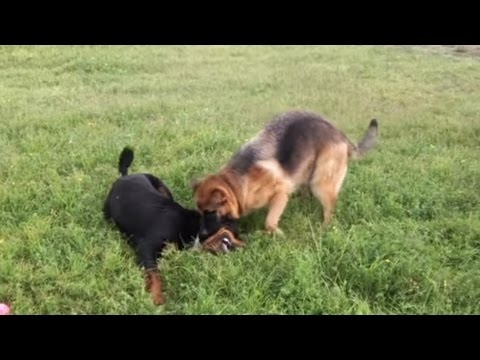 german-shepherd-vs-rottweiler---supreme-guardians