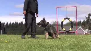 Master Level 3 Ipo Versatility Obedience Trained German Shepherd For Sale