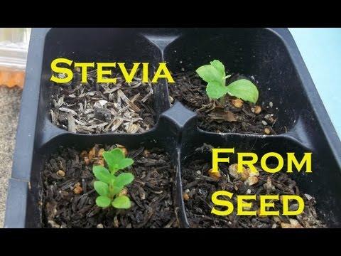 Indoor Winter Garden 2013: Germinating Stevia / Hydroponic Stevia