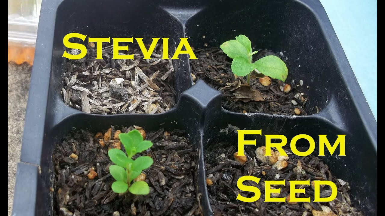 indoor winter garden 2013 germinating stevia hydroponic stevia