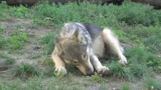 円山動物園のシンリンオオカミ、ジェイ(父/5歳)とキナコ(母/10歳)とルー...