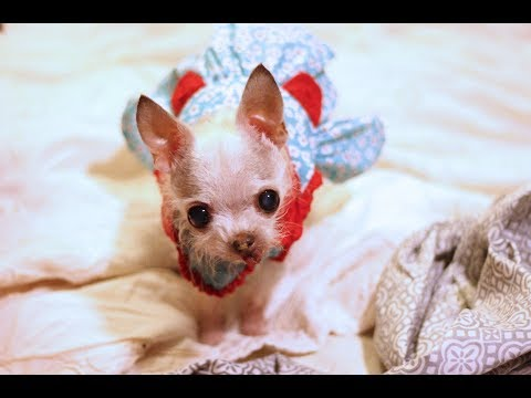 Tiny Chihuahua mix in: The Ghillie Dhu Dance
