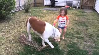 American Bulldog Johnson Breed Best Family Dog Ever