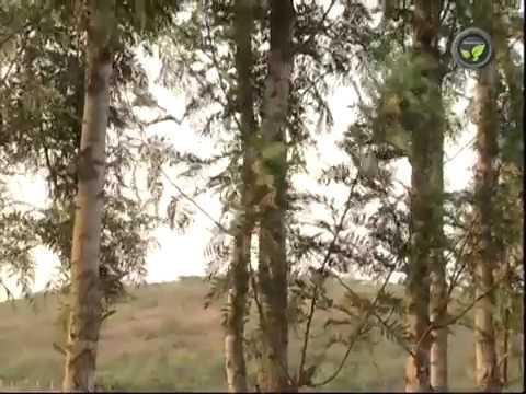 Agro Forestry Species Teak Subabul Silver Oak And Casuarina