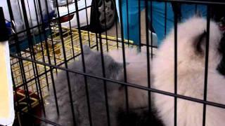 Иркутск - Котята - рынок домашних животных - полуперсы/полубританцы