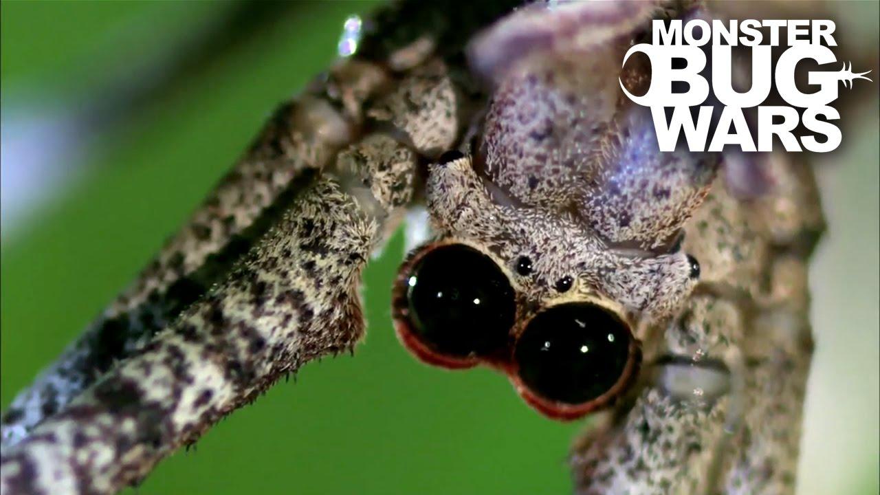 monster bug wars ogre spider vs assassin bug youtube