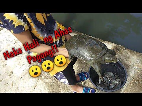 Download Nakahuli ng Ahas Pagong (Snake Turle/Softshell Turle) /ANLAKI!!/