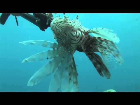 Jost Van Dyke 2013 underwater clean up and Lionfish Hunt Part 1 of 2
