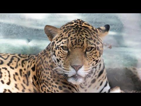 Audubon Responds to Jaguar Incident