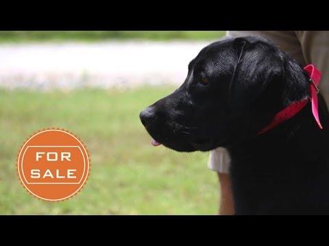 Labrador Retriever - Started Gun Dog For Sale