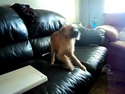 Funny Brussels Griffon Puppy Playing and Talking