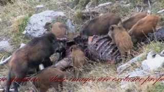 Cinghiali mangiano Cervo(sus scrofa)-Wild Boars eat Deer