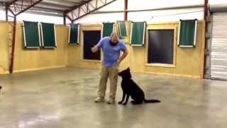 "Beautiful German Shepherd ""nacho"" Protection Obedience Trained Home Raised Dog For Sale"