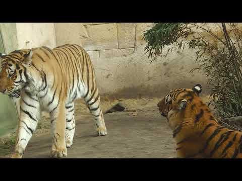 Zoo Hannover:  Sibirische Tiger Aljoscha und Alexa - Eisbär Nanuq - Leopard Julius