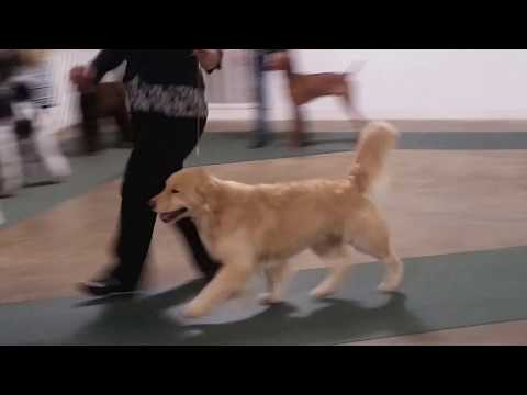 Hampton Roads Kennel Club (UKC): Gun Dog Group
