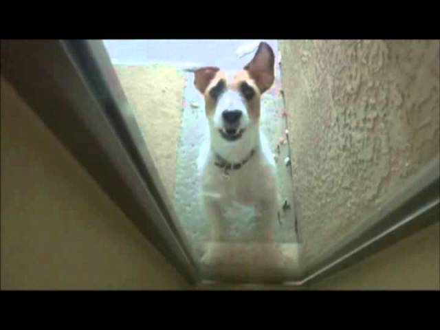 Jesse the Jack Russell Terrier Tricks