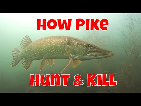 How Northern Pike Hunt Prey | Need To Know Info For Anglers