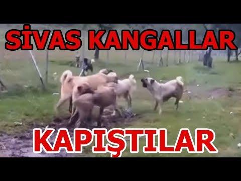 Sivas kangal kapışması çoban yetişmese ne olacağı belli değildi