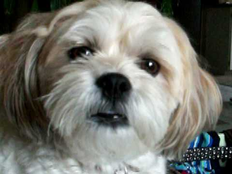 shih tzu bichon full grown