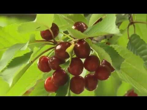 Черешня Красная Горка
