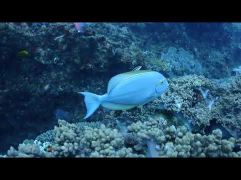 Yellowfin surgeonfish at a cleaning station in Sodwana