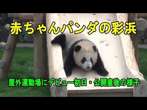 赤ちゃんパンダ彩浜の屋外デビュー初日の開園直後・お母さんは超不安