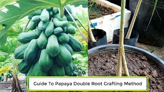 Step By Step Guide To Papaya Double Root Grafting Method