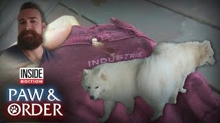 Paw & Order: Which Samoyed Ripped the Shirt?