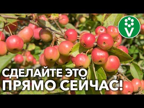 ЭТО НУЖНО ВАШЕМУ САДУ В АВГУСТЕ для богатого урожая яблок, груш и других плодовых деревьев