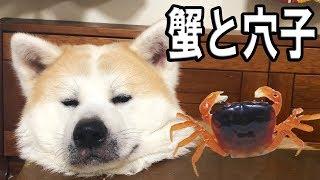 grandchild and JAPANESEAKITA 秋田犬そうすけ君寝る前は孫達とまったり...