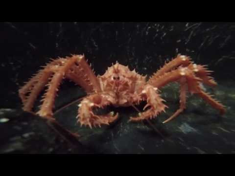 King Crab Encroachment Threatens Antarctic Ecosystems- National Science Foundation
