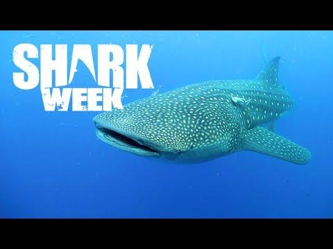 Do Sharks Have Tongues? | Shark Week