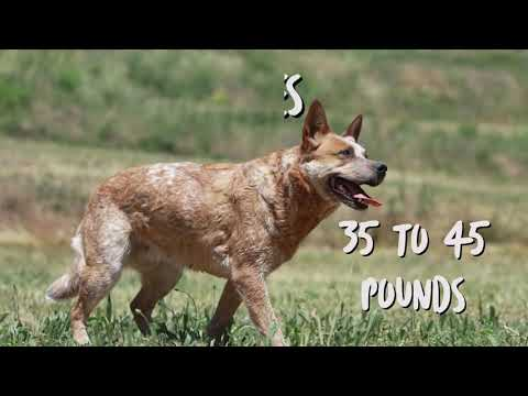 australian-cattle-dog---facts-the-australian-cattle-dog