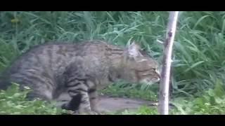 Половая жизнь кота! Невероятный кошачий оргазм!