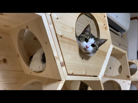 try-not-to-laugh!-funny-short-clips-of-hinoki-the-cat.-part11