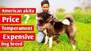 About American akita dog breed || American akita price