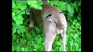 Super Britney's Ultimate Very Funny Dog Video Collection Weimaraner Funny S