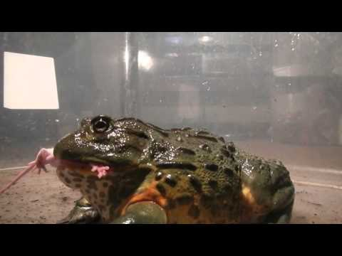 Giant African Bullfrogs Eating Everything In Sight (including Mice)