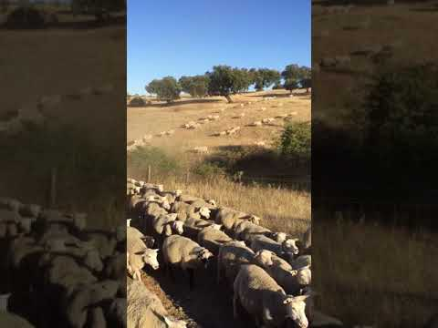 Inra 401 sheep Alentejo