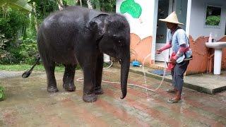 Маленький слоник|видео прикол про слона|слоненок Таиланд Пхукет