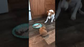 jack Russell Terrier is patient with Golden Retriever pup and doesn't try to steal her food