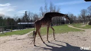 Toronto Zoo's Pregnant Giraffe Ready For Baby To Arrive!