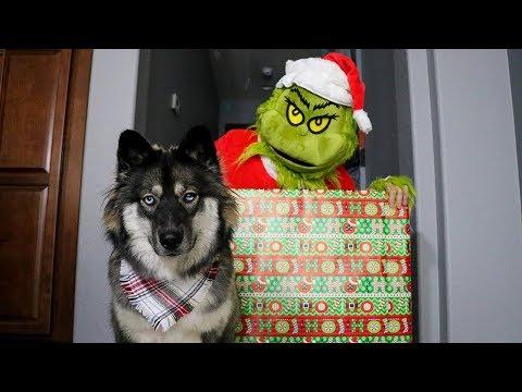 Grinch Plays Hide And Seek With Huskies!
