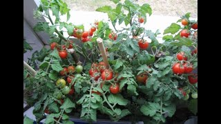 Что делать, если балконные томаты сильно переросли?