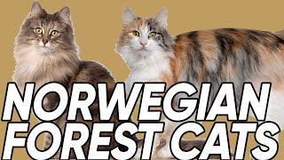 5 Fun Facts You Didn't Know About the Norwegian Forest Cat